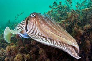 Cuttlefish, as found in Beachy Head rMCZ. Credit: Alex Mustard/2020 Vision