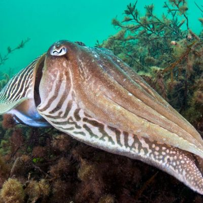 Cuttlefish, as found in Beachy Head rMCZ. Credit: Alex Mustard/2020 Vision