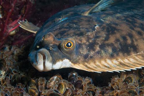Cumbria Wildlife Trust Flatfish