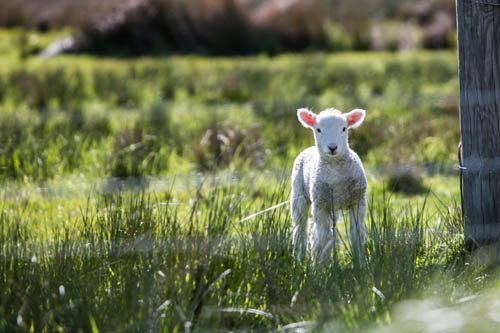 The Guide Magazine | New-born lambs mark the change in