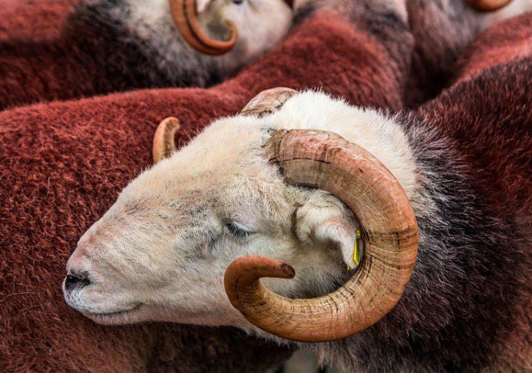 coloured herdwick wool